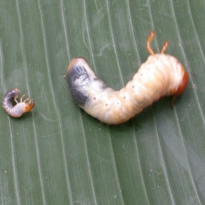 WHITE GRUBS - © School of Ecology and Conservation