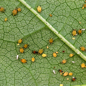 APHIDS - © Dr Lewis Wilson