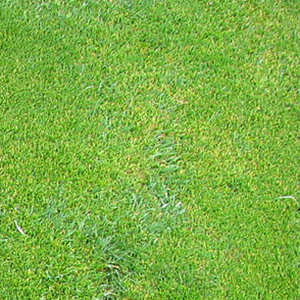 Creeping-Bentgrass